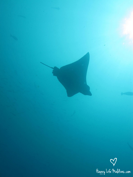 Diving with a manta at (you guessed it) Happy Life Maldives